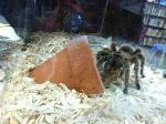 Photo of pet tarantula